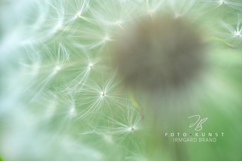 Pusteblume Schirmchen sind miteinander verbunden