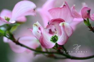 rosa Hartriegelblüte mit runden Blütenblättern
